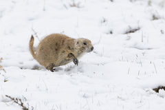 Cold feet. Prairie dog walking in cold snow Stock Photo