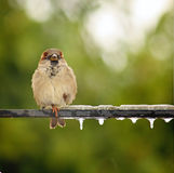 Cold Feet. A single sparrow on a metel rod with icicles on it Stock Photo