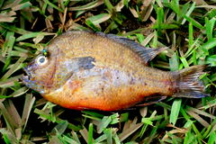 Cold Fish. Dead sun perch with a green fly on its eye Royalty Free Stock Image