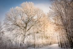 A cold forest and a snowy meadow. Very low ambient temperature, windless weather and very high humidity contributed to such a magnificent frosting of trees Stock Image
