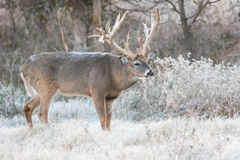 Cold frost on monster whitetail buck Stock Photos