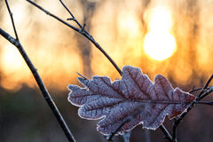 Cold Frosted Leaf Against Burning Sun At Sunset. A Leaf Resting Against Branches In Front Of Warm and Low Sun Royalty Free Stock Photos