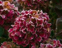 Cold and frosty hydrangea stock image