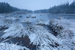 Cold frosty morning on swamp in forest Royalty Free Stock Photography