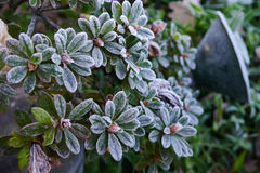 Cold. A frosty plant in winter Royalty Free Stock Photo
