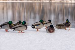 Group of freezing mallard ducks in winter time. Cold and frozen group of mallard ducks standing in the snow by a river in Sweden Royalty Free Stock Photos