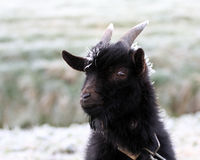 Cold goat. Frosty goat on a cold winter morning Stock Photo