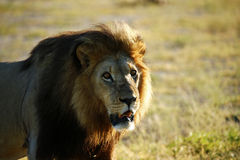 Cold Gold Lion Stare Royalty Free Stock Image