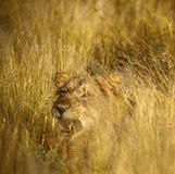 Cold Gold Lion Stare Royalty Free Stock Images