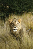 Cold Gold Lion Stare Stock Photography
