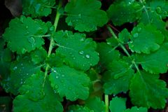 Cold green juicy chelidonium celandine leaves with some drops of dew. Stock Image