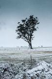 Cold gum. A lone gum tree sitting in a snow covered field Stock Photos