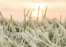 A Cold Hard Frost on blades of grass. Cold frost crystallising on blades of grass in a pink sunrise early in the morning Royalty Free Stock Photos