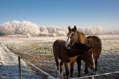 Cold horses. Horses in a frozen landscape Royalty Free Stock Image
