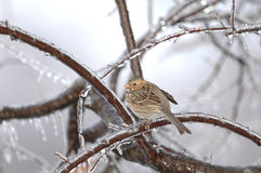Free Cold House Sparrow Royalty Free Stock Photography - 3836607