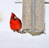 Cold and hungry cardinal Stock Photos