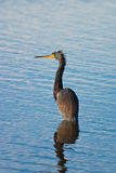 Cold Little Blue Heron Royalty Free Stock Photos