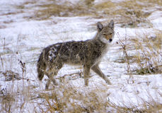 Cold Lone Coyote Royalty Free Stock Photography