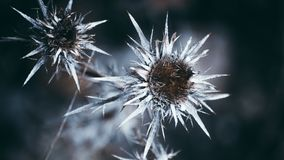 Winter is here. Cold look flower royalty free stock photo
