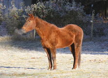 Cold Morning and Horse Royalty Free Stock Photos