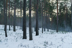 Cold mysterious pine forest landscape with smoke Stock Images