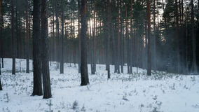 Cold mysterious pine forest landscape with smoke Royalty Free Stock Photography