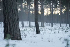 Cold mysterious pine forest landscape with smoke Stock Image