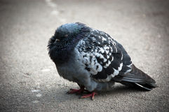 Cold pigeon Stock Photo