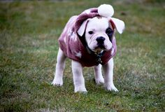 Cold puppy with a sweater waiting for spring to arrive. Cute French bulldog puppy on a cold day. The dog wears a sweater to keep warm royalty free stock photography