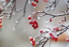 Red berries of viburnum in the garden covered in rain drops and Royalty Free Stock Photography