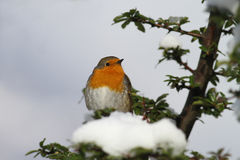 Cold robin Stock Photos