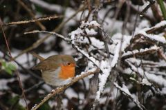 Cold Robin in Snowy Forest royalty free stock photography