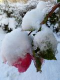 Cold rose Stock Photography