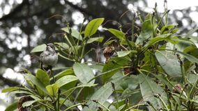 Cold small green hummingbird sitting in rhododendron. In winter stock video footage
