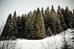 Cold snow forest Royalty Free Stock Image