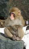 Cold Snow Monkey Baby Royalty Free Stock Image