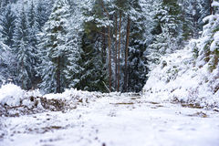 Cold snowy winter landscape. With a light fresh white snowfall on the ground and a snow-covered forest of pine trees Stock Photos
