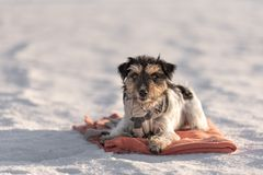 In cold snowy winter a small dog is lying on a blanket on the ground. Jack Russell Terrier 3 years old stock photos