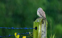 Cold Spotted Dove Stock Images