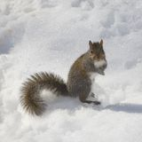 Cold squirrel Stock Images