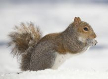 Cold squirrel Royalty Free Stock Image