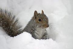 Cold Squirrel. Squirrel in deep snow Stock Image