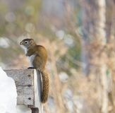 Cold squirrel. Royalty Free Stock Photo