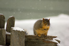 Cold squirrel on a fence Royalty Free Stock Image