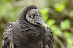 Cold stare from black vulture. Close up shot of staring black vulture with green bokeh background Stock Photo