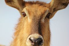 Cold stare from Waterbuck mom - Africa Royalty Free Stock Photos