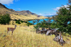 National park to Torres del Payn - a wild guanacos Royalty Free Stock Images
