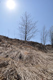Cold Sun of Russia, a wave of straw. Straw river under a tree Royalty Free Stock Photography