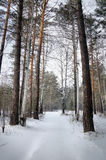 Cold sunny day in a winter pine forest Royalty Free Stock Photo