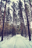 Cold sunny day in a winter pine wood Royalty Free Stock Image